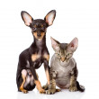 Devon rex cat and toy-terrier puppy sitting together. looking at — Foto de Stock