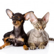 Devon rex cat and toy-terrier puppy together. looking at camera. — 图库照片
