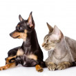 Devon rex cat and toy-terrier puppy together. looking away — Stok fotoğraf