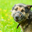 Foto Stock: Mixed breed dog wearing muzzle