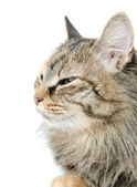 Close-up portrait of green-eyed Siberian cat. looking away — Stock Photo