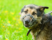 Mixed breed dog wearing a muzzle — Stock Photo