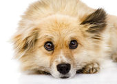 Sad mixed breed dog lying in front. isolated on white background — Stock Photo