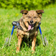 Dog in a wheelchair in front — Stock Photo