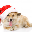 Dog in red christmas Santa hat, isolated on white background — Stock Photo