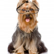 Yorkshire Terrier with glasses. isolated on white background — Stock Photo