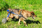 Dog in a wheelchair — Stock Photo