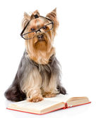 Yorkshire Terrier with glasses read book. isolated on white back — Stock Photo