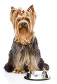 Yorkshire Terrier begging for food. looking at camera. isolated — Stock Photo