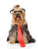 Yorkshire Terrier with glasses and a tie. isolated on white back — Stock Photo