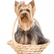 Yorkshire Terrier sitting in front. isolated on white background — Stock Photo