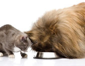 Cat and dog eating together. isolated on white background — Stock Photo