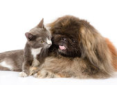 Cat and dog together. isolated on white background — Stock Photo