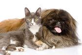 Pekingese and cat together. isolated on white background — Stock Photo