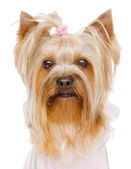 Head Yorkshire Terrier close up. isolated on white background — Stock Photo
