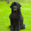 Stock Photo: Newfoundland dog in front