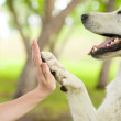 Give me five - Dog pressing his paw against a woman hand — Stock Photo #29444957