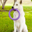Stock Photo: Purebred White Swiss Shepherd playing toy puller