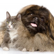 Fluffy Pekingese and cat together. — Stock Photo