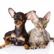 Devon rex cat and toy-terrier puppy together. — Stock Photo