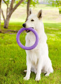 Purebred White Swiss Shepherd playing toy puller — Stock Photo