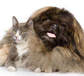 Puszyste pekińczyk i kot razem. — Zdjęcie stockowe