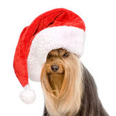 Yorkshire Terrier in red christmas Santa hat — Stock Photo
