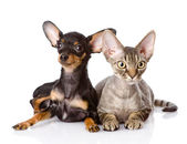 Devon rex cat and toy-terrier puppy together. — Zdjęcie stockowe