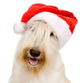 Scottish Terrier in red christmas Santa hat — Stock Photo