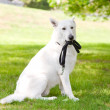 Purebred White Swiss Shepherd with a leash in his mouth — Stock Photo #30123427