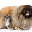 Fluffy Pekingese and cat together. isolated on white background — Stock Photo
