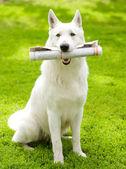 Gazete ile safkan beyaz swiss çoban — Stok fotoğraf