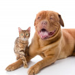 Dogue de Bordeaux (French mastiff) and Bengal cat (Prionailurus bengalensis) together — Stock Photo