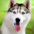 Stock Photo: Husky portrait