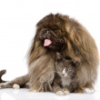 Pekingese hugging cat. isolated on white background — Zdjęcie stockowe