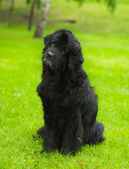 Newfoundland dog in front — Stock Photo