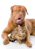 Dogue de Bordeaux (French mastiff) and Bengal cat (Prionailurus bengalensis) lying together — Stock Photo