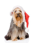 Yorkshire Terrier in red christmas Santa hat. isolated on white — Stock Photo