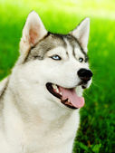 Siberian husky dog closeup portrait — Stock Photo
