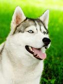 Siberische husky hond close-up portret — Stockfoto