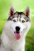 Husky portret — Stockfoto