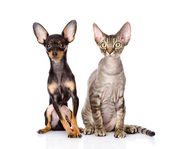Devon rex cat and toy-terrier puppy sitting together. — Stock Photo