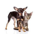 Devon rex cat and toy-terrier puppy together. looking away. isol — Stock Photo