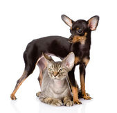 Devon rex cat and toy-terrier puppy together. looking away. isol — Photo