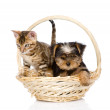 Purebred bengal kitten and Yorkshire Terrier puppy sitting in basket — Stock Photo #31882095