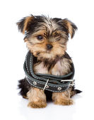 Little Yorkshire Terrier puppy wearing dog collar that is too big — Stock Photo