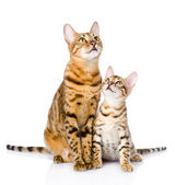 Two bengal cats. mother cat and cub looking up. — Stock Photo