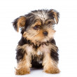 Yorkshire Terrier puppy sitting in front. — Stock Photo #32755345