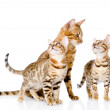 Постер, плакат: Little bengal kittens and mother cat