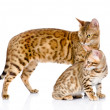Two bengal cats. mother cat and cub looking away. — Stock Photo #32755387